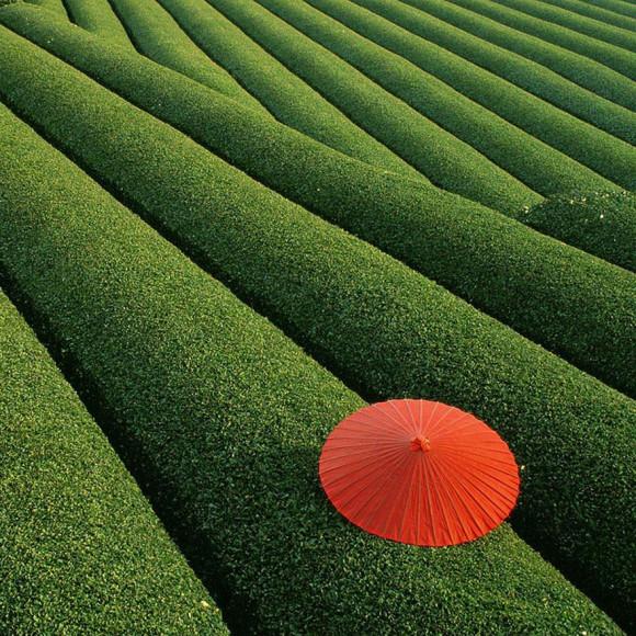 Campos de te, China
