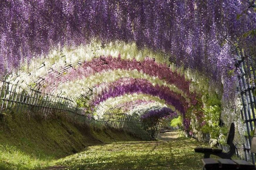 Túnel de flores Wisteria, Japón